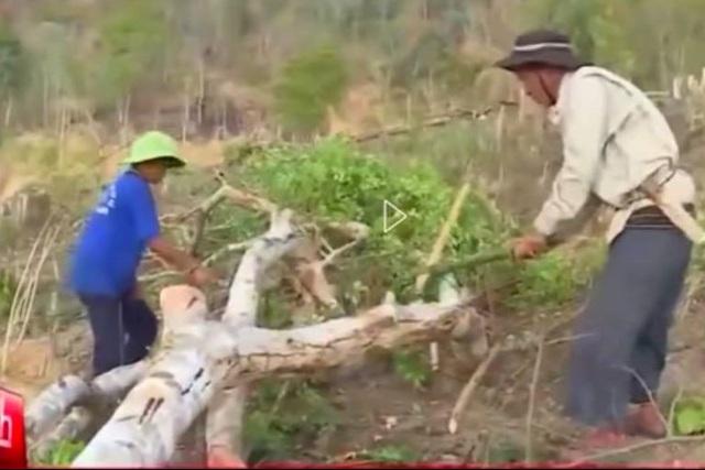 Hình ảnh trong phóng sự về nạn phá rừng của VTV24.