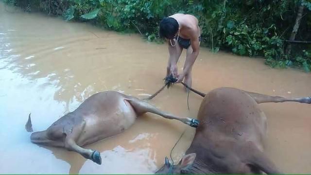 Trâu bò của người dân chết do mưa lũ. Ảnh: B.N