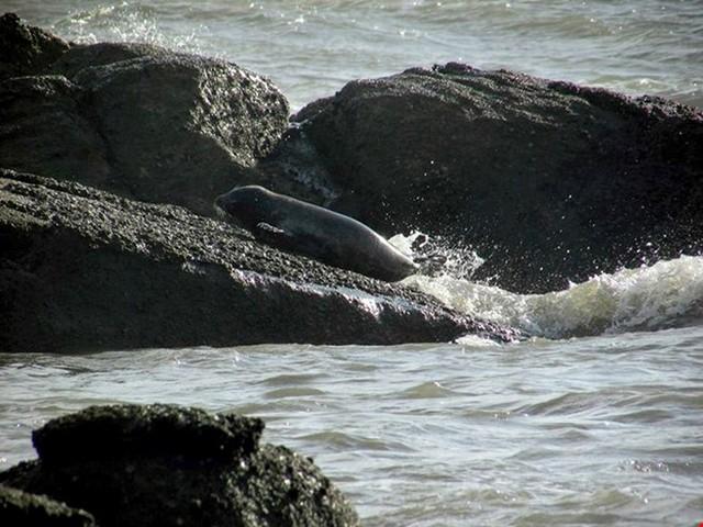 Hải cẩu xuất hiện ở vùng biển xã Chí Công, huyện Tuy Phong(Bình Thuận). Ảnh: Facebook Hoài Phương Dương.