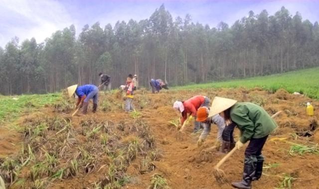 Thu hoạch cây hương rừng để chuẩn bị làm hương tết là công đoạn đầu tiên của người dân Quỳ Châu