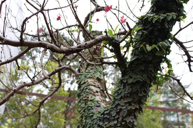 Gốc đào với thân phủ đầy lá cũng được ưa chuộng.