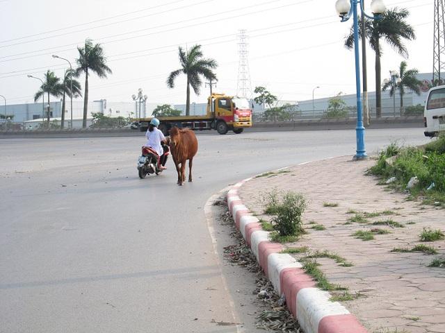 Không thể coi thường mối nguy hiểm từ những con trâu, bò như thế này. Ảnh: Nông Thuyết
