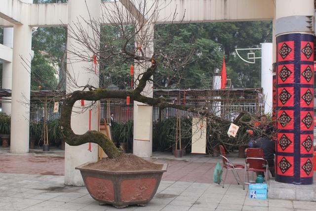 Ngày 21/1, một cây đào đá Sapa (Lào Cai) được đưa về trung tâm triển lãm trên đường Hoa Lư, khiến không ít người dân thủ đô ngạc nhiên. Chủ nhân của cây đào quý này là anh Phạm Văn Thắng, quê Vĩnh Phúc. Ảnh: Đình Việt.