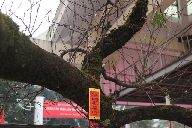 Theo quan sát của phóng viên, cây đào đá này cao khoảng 3 mét, thân cây xù xì, và có nhiều rêu xanh bao phủ. Ảnh: Đình Việt.