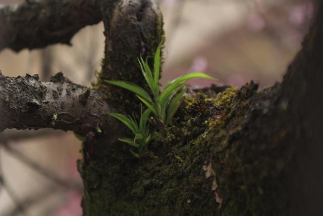 Những chồi non mọc ra trên thân cây già cỗi. Ảnh: Đình Việt.