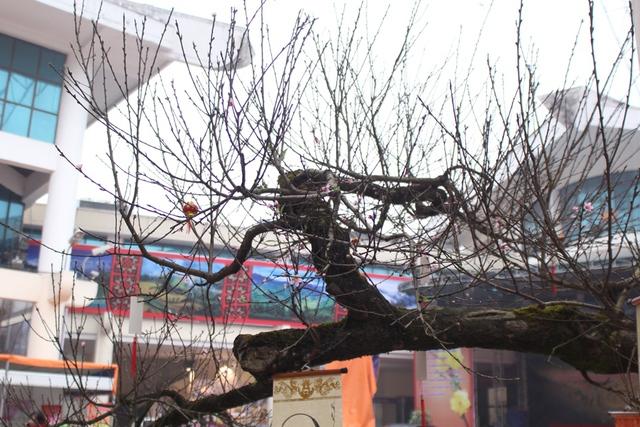 Để vận chuyển được cây đào xuống đến Hà Nội, anh Thắng đã phải mất đến 30 triệu tiền thuê xe. Ảnh: Đình Việt.