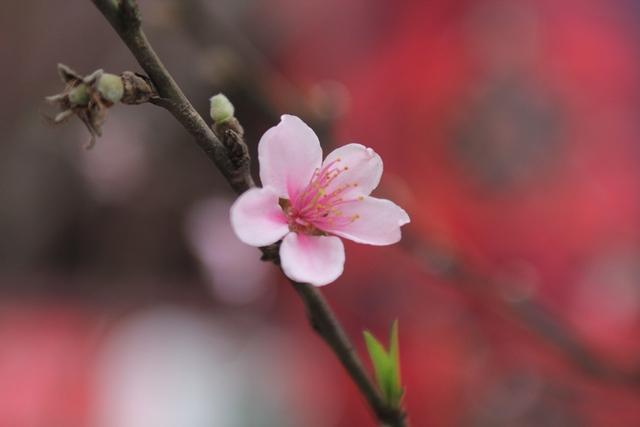 Trên những cành đào, nhiều bông hoa đã nở, gần tết cả cây sẽ bung nở. Ảnh: Đình Việt.