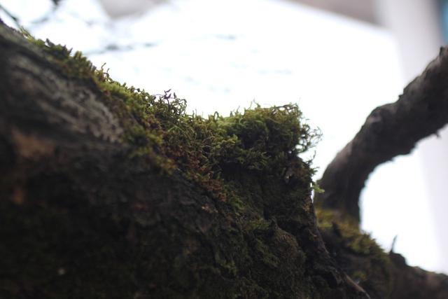 Vỏ cây sần sùi và mọc rêu xanh theo thời gian. Ảnh: Đình Việt.