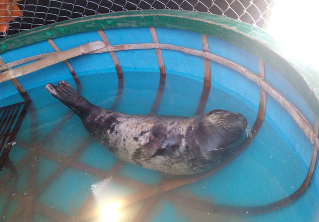 Con hải cẩu vào gần bờ, mắc lưới, được Đội cứu hộ bãi biển Tam Thanh giải cứu. Ảnh: H.Đ