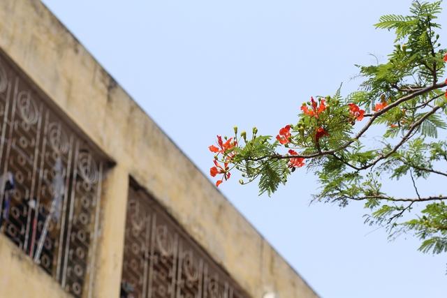 Màu đỏ rực rỡ giữa nền trời xanh biếc, hoà quyện với màu nắng chói chang, hoa phượng đã tạo nên một âm điệu đặc trưng cho mùa hè rực rỡ.