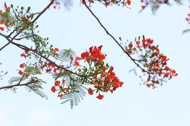 Hiện tại, loài cây này được trồng phổ biến từ Bắc vào Nam, trong các công viên, khuôn viên trường học.