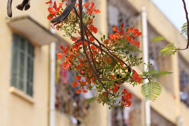 Có thể coi hoa phượng là loài hoa đặc trưng của tháng Năm, bởi đây là thời điểm hoa phượng nở rộ trên khắp các nẻo đường, con phố.