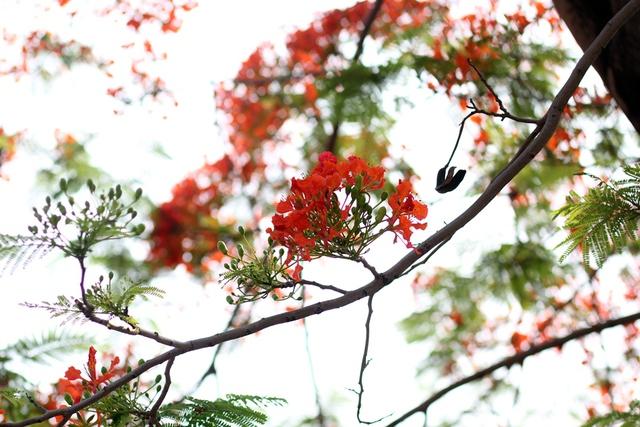 Hàng năm, cứ vào khoảng tháng 5, tháng 6, hoa phượng bắt đầu bung nở.