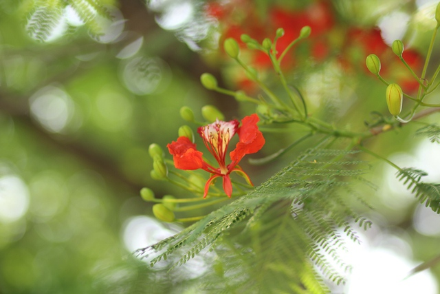 Hoa phượng vĩ có 4 cánh tỏa rộng màu đỏ tươi hay đỏ hơi cam. Cánh hoa thứ năm mọc thẳng, cánh hoa này lớn hơn một chút so với 4 cánh còn lại và lốm đốm màu trắng - vàng hoặc cam - vàng.