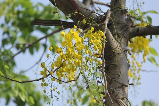 Hoa hoàng yến có nhiều tên gọi khác nhau như muồng hoàng hậu, hoa lồng đèn, bọ cạp nước, Osaka, mai dây, cây xuân muộn, mai nở muộn..