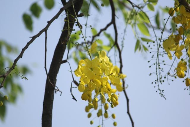 Những ngày Hà Nội nắng vàng cũng là lúc những chùm hoa hoàng yến rực rỡ nhất.