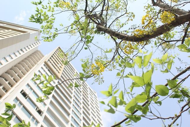 Hà Nội, mỗi mùa đều rực rỡ những sắc hoa. Đầu hè tím ngắt bằng lăng, đỏ rực phượng vĩ, nhưng có một màu hoa rực rỡ nhất trong nắng vàng thủ đô đó là màu vàng của hoa hoàng yến.