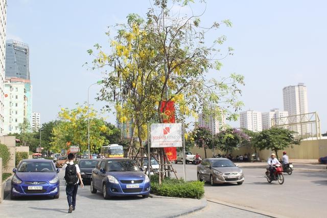 Hoa hoàng yến ở Hà Nội được trồng nhiều ở ven Hồ Tây, hồ Hoàn Kiếm, đường Hoàng Minh Giám...