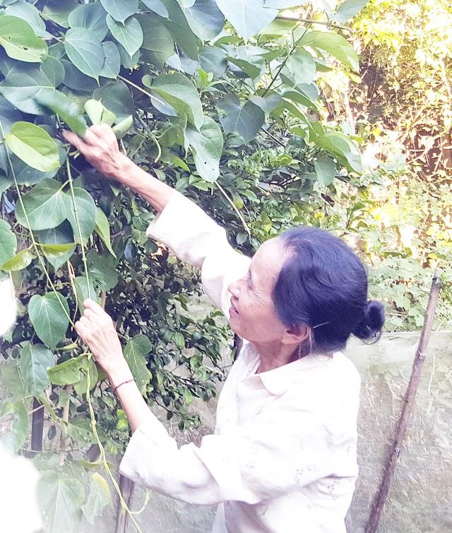 Bà Trần Thị Thái, 70 tuổi ở thôn Tây Nguyên, xã Mường So đang hái lá ngón để mang ra chợ bán. Ảnh: Cao Tuân
