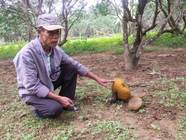 Ông Nguyễn Phước Quang cho hay, mỗi cây nấm từ lúc mới mọc đến lúc tàn phải mất hơn nửa tháng