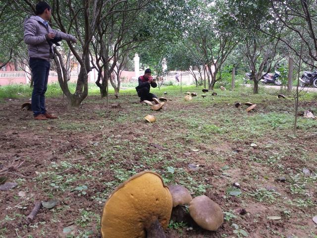 Rất nhiều người tò mò muốn tìm đến tận vườn của bà Nguyễn Thị Giỏi để tận mắt mục sở thị cây nấm lạ