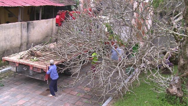Cây sứ được đào trong khuôn viên Đại Nội Huế. Ảnh: Lê Chung