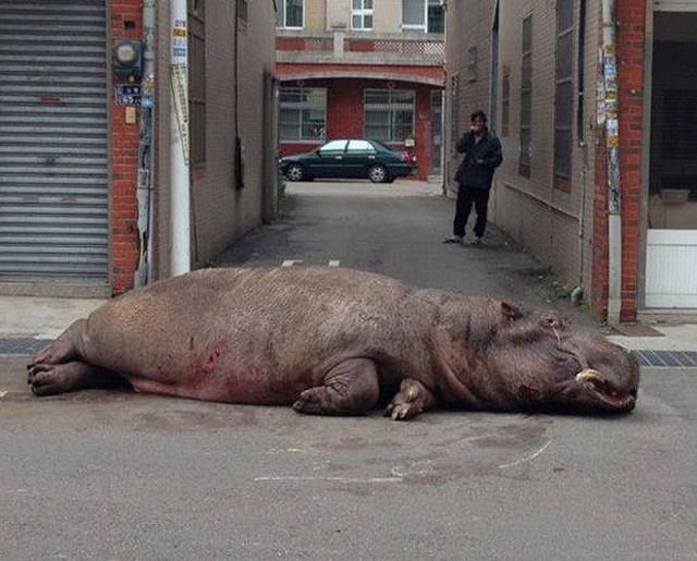 Theo cảnh sát địa phương, con hà mã đã rơi khỏi xe tải trong quá trình vận chuyển. (Nguồn: CCTV)