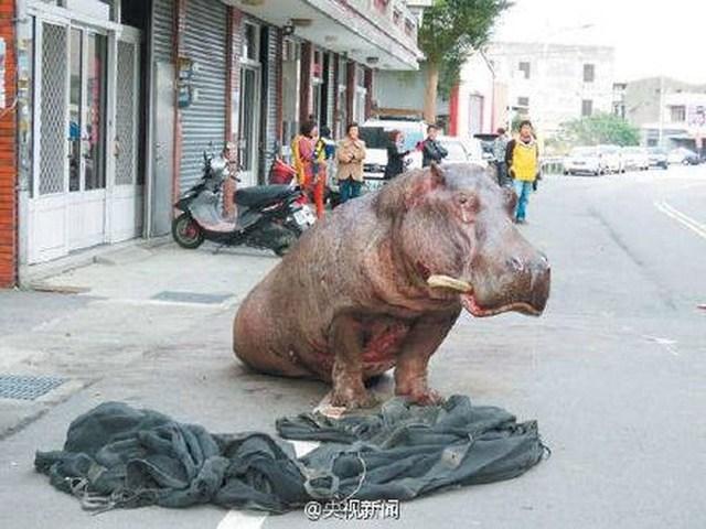Cảnh sát đã nhờ các bác sỹ thú y gây mê cho nó. (Nguồn: CCTV)