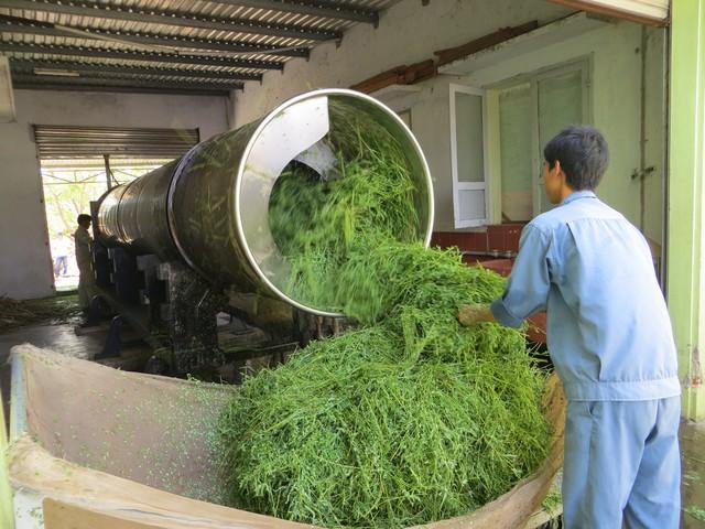 Quá trình sơ chế rau đắng đất theo GACP - WHO