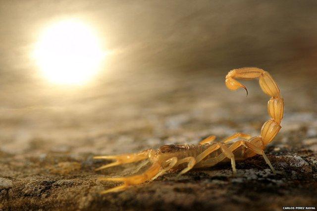 Hình ảnhmột con bọ cạp vàng thông thường nhưng cho thấy cáchxử lý ánh sángxuất sắc của nhiếp ảnh giaCarlos Perez Naval (Tây Ban Nha), 8 tuổi, một tài năng đầy hứa hẹn.