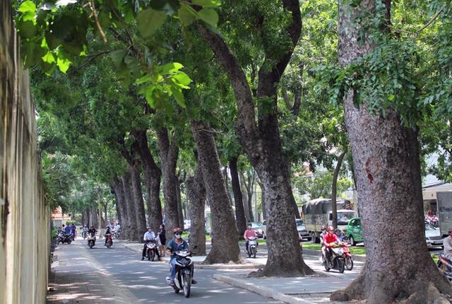 Hàng cây cổ thụ xanh mượt trên đường Tôn Đức Thắng (quận 1), sẽ chỉ còn là quá khứ