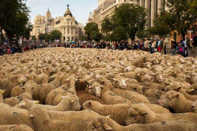 Những người chăn cừu Tây Ban Nha đã dắt 2.000 con cừu đi qua nhiều tuyến đường phố của thủ đô Madrid. Hành động này nhằm bảo vệ quyền chăn thả truyền thống của người dân trước mối đe dọa của sự phát triển đô thị và các hình thức canh tác hiện đại.