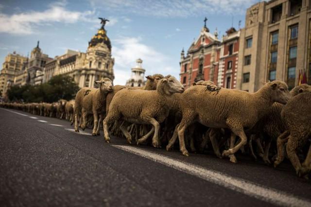 Những người chăn cừu đã dừng tại một tòa thị chính cũ để trả cho nhà chức trách chi phí đi lại của đàn cừu (25 đồng tiền maravedis - tiền xu). Sau đó, 2.000 chú cừu tiếp tục băng qua quảng trường Puerta del Sol, trụ sở ngân hàng Tây Ban Nha cho đến công viên Retiro.