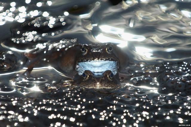 Nhiếp ảnh giaAnton Lilja của Thụy Điển đã chụp được bứchình ấn tượngmột con ếch đựctrong thời điểm thụ tinh các trứng của con ếch cái.