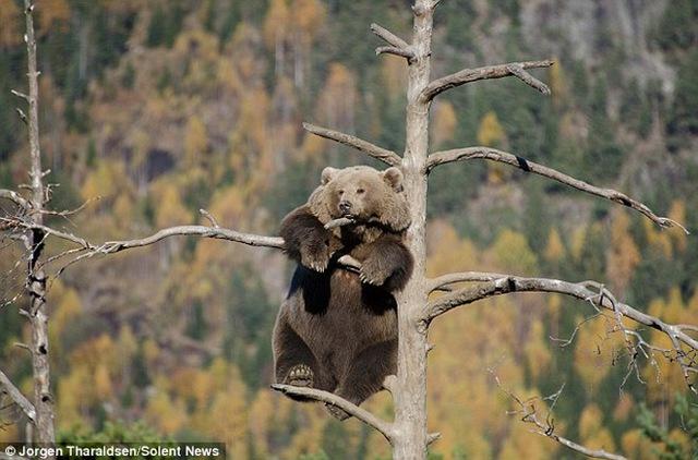 Chú gấu đã khôn khéo để chân vào hai nhành nhỏ phía dưới để làm trụ.