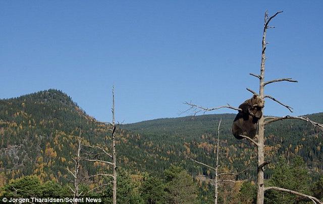 """""""Thật bất ngờ khi chứng kiến điều đó. Tôi nghĩ là cành cây không thể chịu được trọng lượng của một chú gấu"""" - Tharaldsen cho hay."""