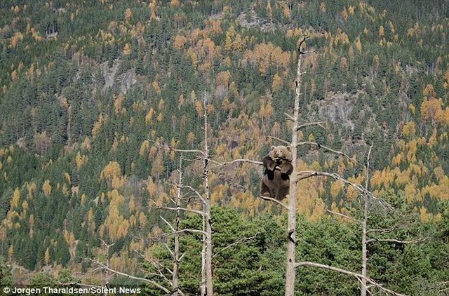 """""""Chú gấu đã 'phân phối' trọng lượng của mình một cách khéo léo trên cây"""" - Tharaldsen cho biết thêm."""