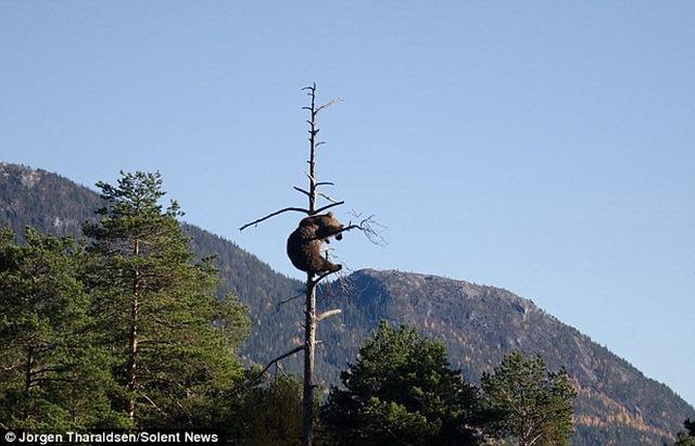 Chú gấu leo lên cây khá lâu.
