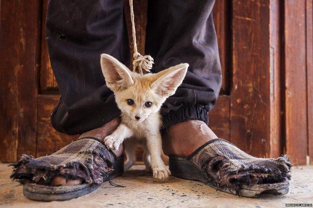 Bức ảnhmô tả một thiếu niên ở Tunisia cố gắng để bán bất hợp pháp một con cáo Fennec vừaba tháng tuổi.