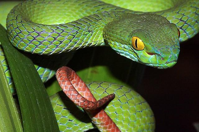Rắn lục đuôi đỏ, tuy không độc bằng nhiều loại rắn độc khác, nhưng nếu không được điều trị kịp thời sẽ tử vong.