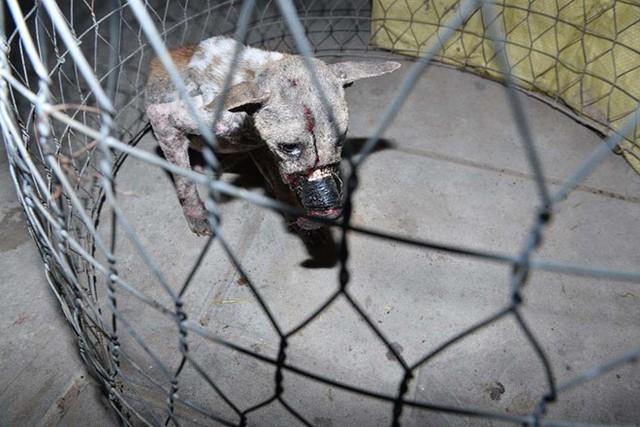 Dân mạng vui mừng khi chú chó bị buộc chặt mõm được giải cứu