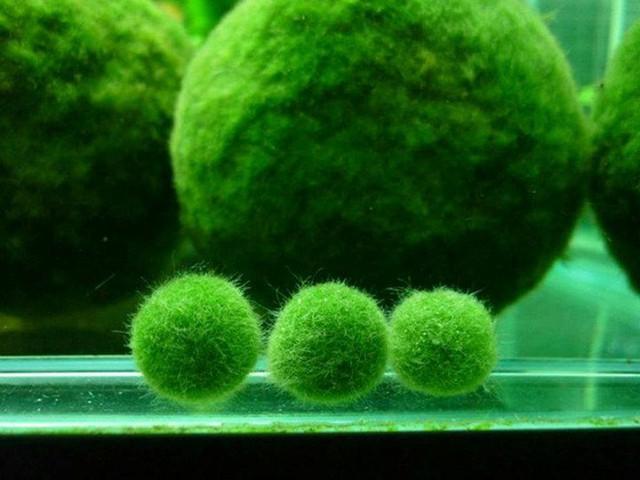 Cầu rêu Nhật Bản có thể chạy trong nước gây tò mò cho khách
