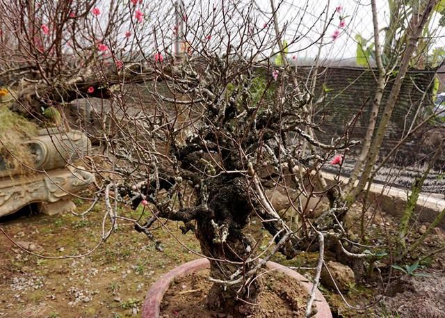 Thân cây xù xì, có tán đẹp, được nhiều người chơi đánh giá là một trong những cây đào cổ, quý của làng Nhật Tân hiện nay. Ảnh: Diệp Sa.