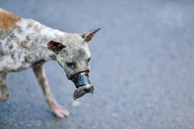 Lucky bị buộc mõm khiến không thể ăn uống - Ảnh: Điền Nguyễn.