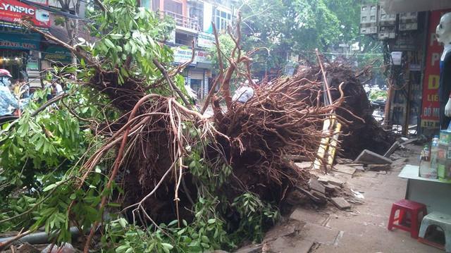 Hai cây xà cừ cổ thụ bật gốc đổ xuống đường khiến 1 thiếu nữ bị đè chết trên phố Minh Khai