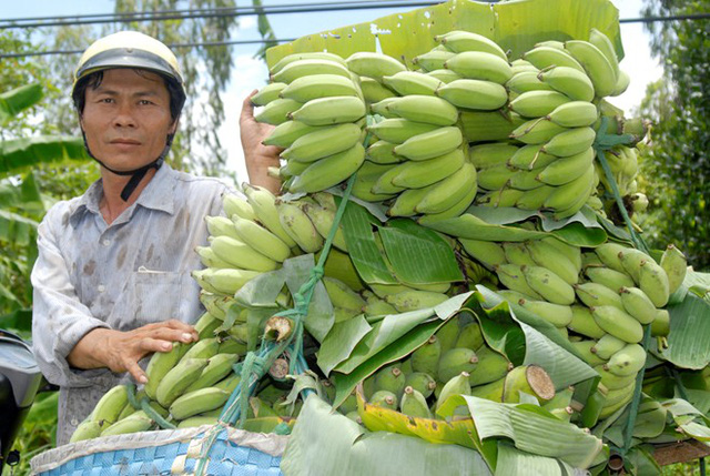 Trung Quốc ngưng mua, chuối miền Tây còn 3.000 đồng một nải
