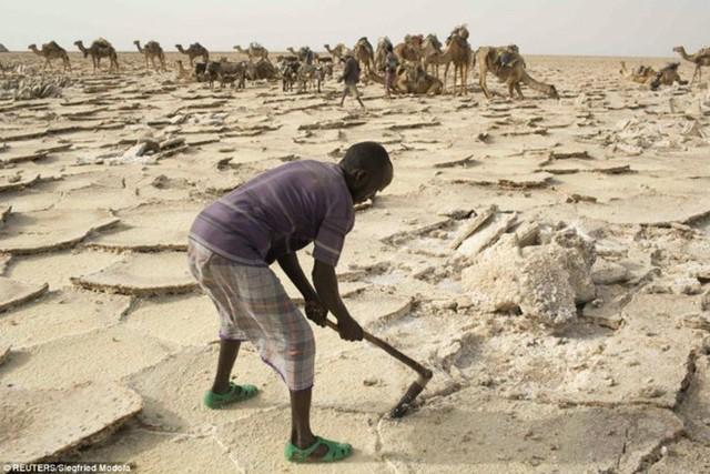 Sau khi dùng thiết bị chuyên dụng để cắt những tảng muối dưới nền đất nóng rực, các thương lái chất chúng lên lưng lạc đà để chuyển tới khu trung tâm gần nhất.