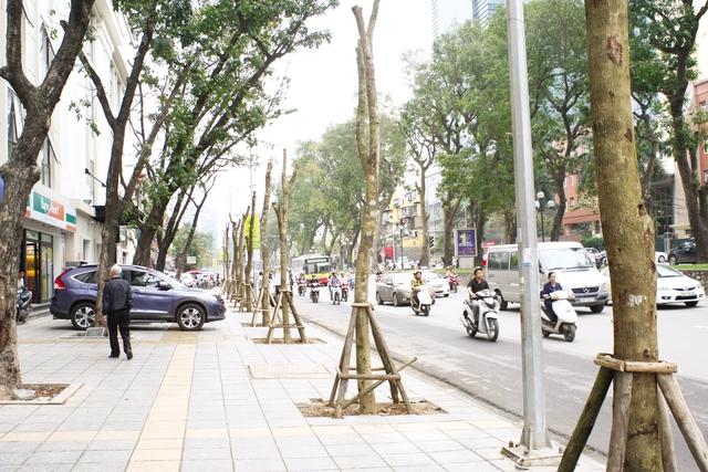 Hàng cây được cho là vàng tâm được thay thế những cây cũ bị chặt hạ trên phố Giảng Võ. Ảnh: Chí Cường