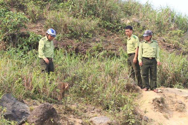 Con khỉ xuất hiện tại khu vực đỉnh Bàn Cờ. Có lúc lực lượng kiểm lâm tiếp cận được con khỉ nhưng việc bắt sống rất khó...