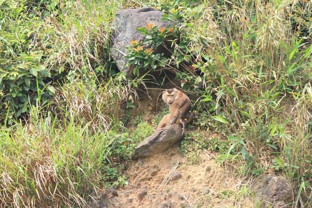 Đến trưa cùng ngày, con khỉ đã nấp vào một khe đá. Việc bắt sống con khỉ thất bại. Chiều nay, lực lượng kiểm lâm tiếp tục việc bắt sống con khỉ, nếu tiếp cận khó khăn thì sẽ gây mê để bắt.